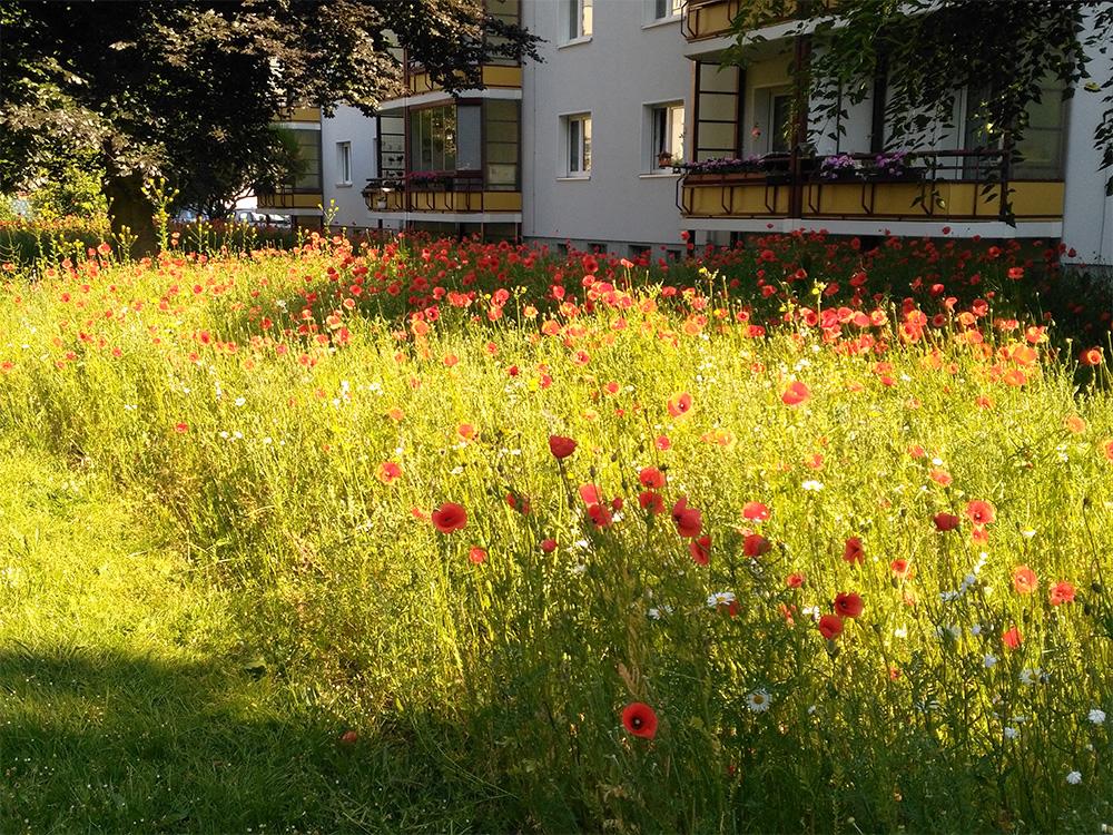 Blumenwiese als Außenraumgestaltung einer Dresdner Wohnanlage