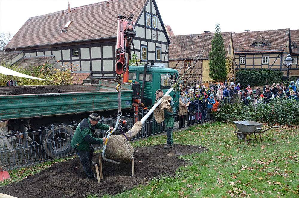 Eine Linde wird mittels Drehkran in die vorbereitete Pflanzgrube gesetzt.