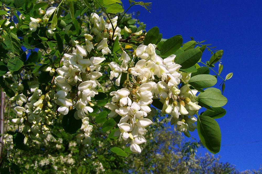 Blütentrauben und Fiederblätter der Gewöhnlichen Robinie
