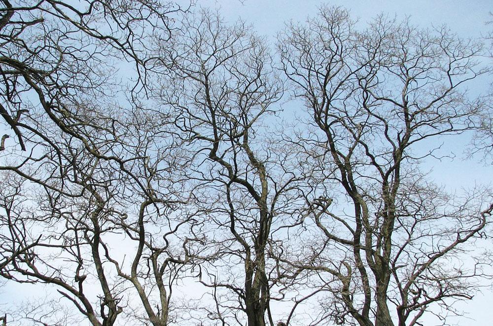 Kronenbereich mehrerer Robinienbäume im Winter