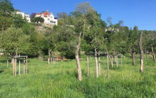 Baumpflanzung und Lückenschluss auf einer bestehenden Streuobstwiese