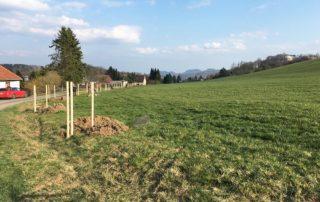 Pflanzung der alten Apfelsorte 'Rote Sternrenette' in Thürmsdorf